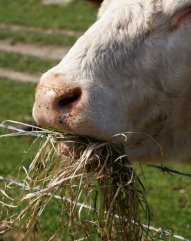 cow_eating_2_by_mearnzy-d3e9rg5