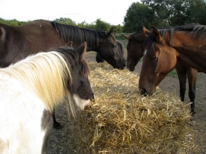 horses-eating-straw